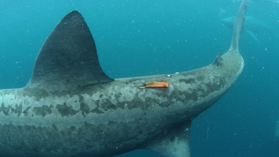 Basking shark tagging project