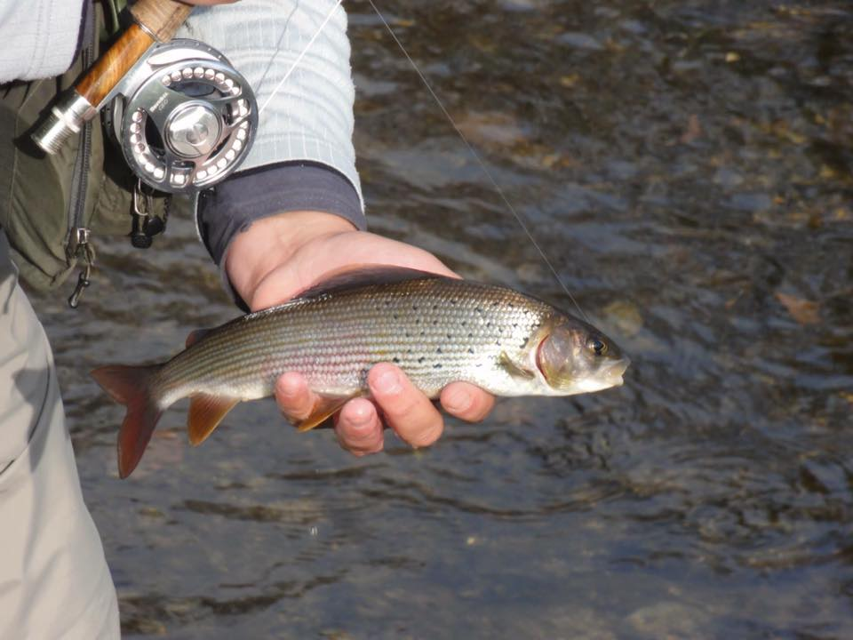 European grayling