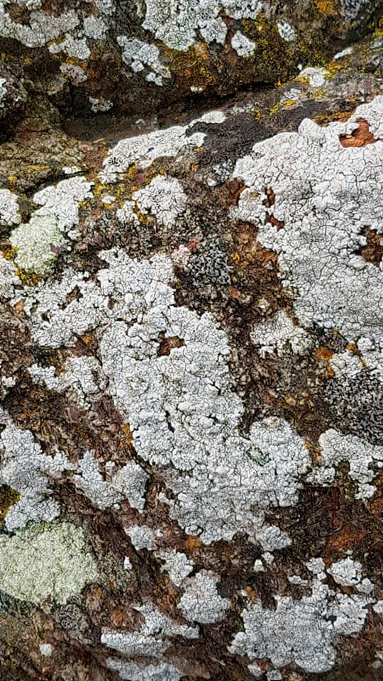 Lichens in Scotland