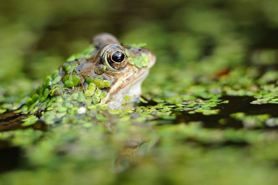 Scotland's Amphibians