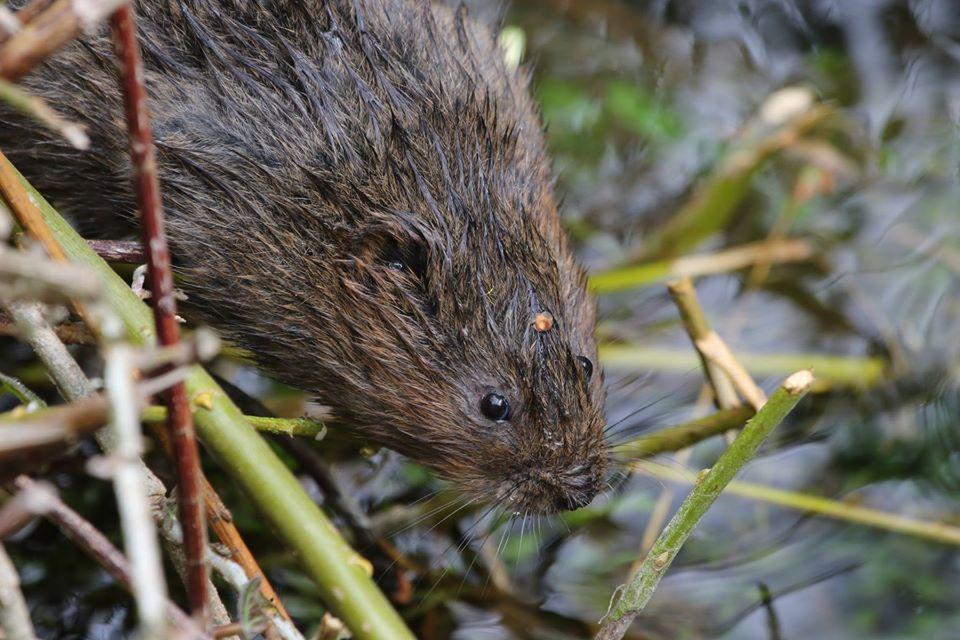 Water voles in Scotland