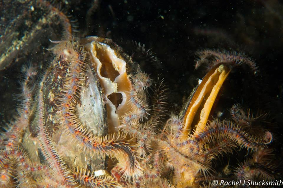Modiolus modiolus)