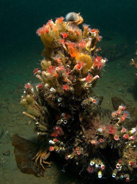 Serpulid reefs