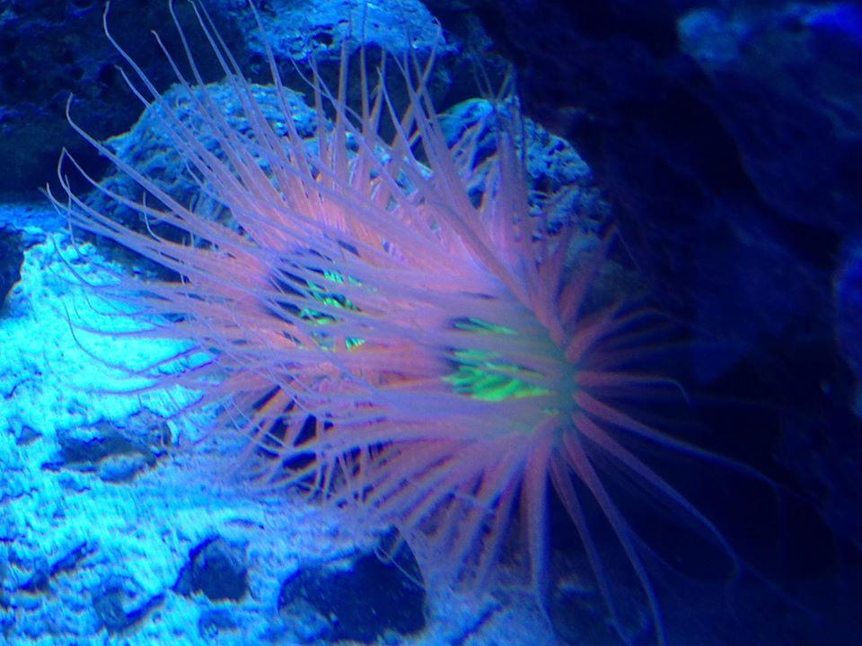 Tube anemones