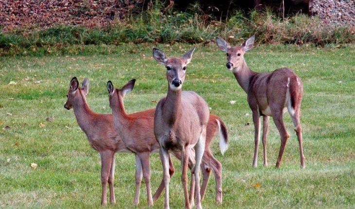 Scotland's deer